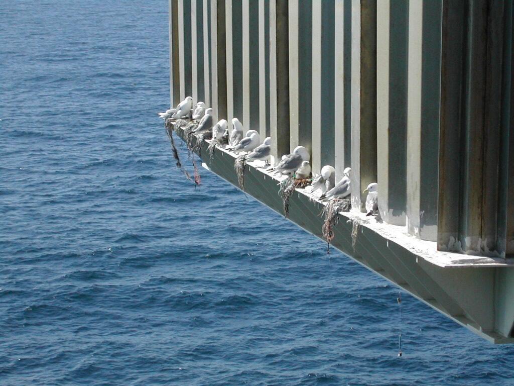 Nederst på dekket har en gjeng krykkjer funnet seg til rette. Fuglene plukker med seg det de finner, og lager reder på rekke og rad. Foto: Ukjent